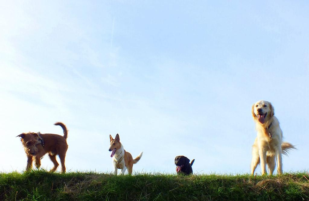 Foto vier Hunde
